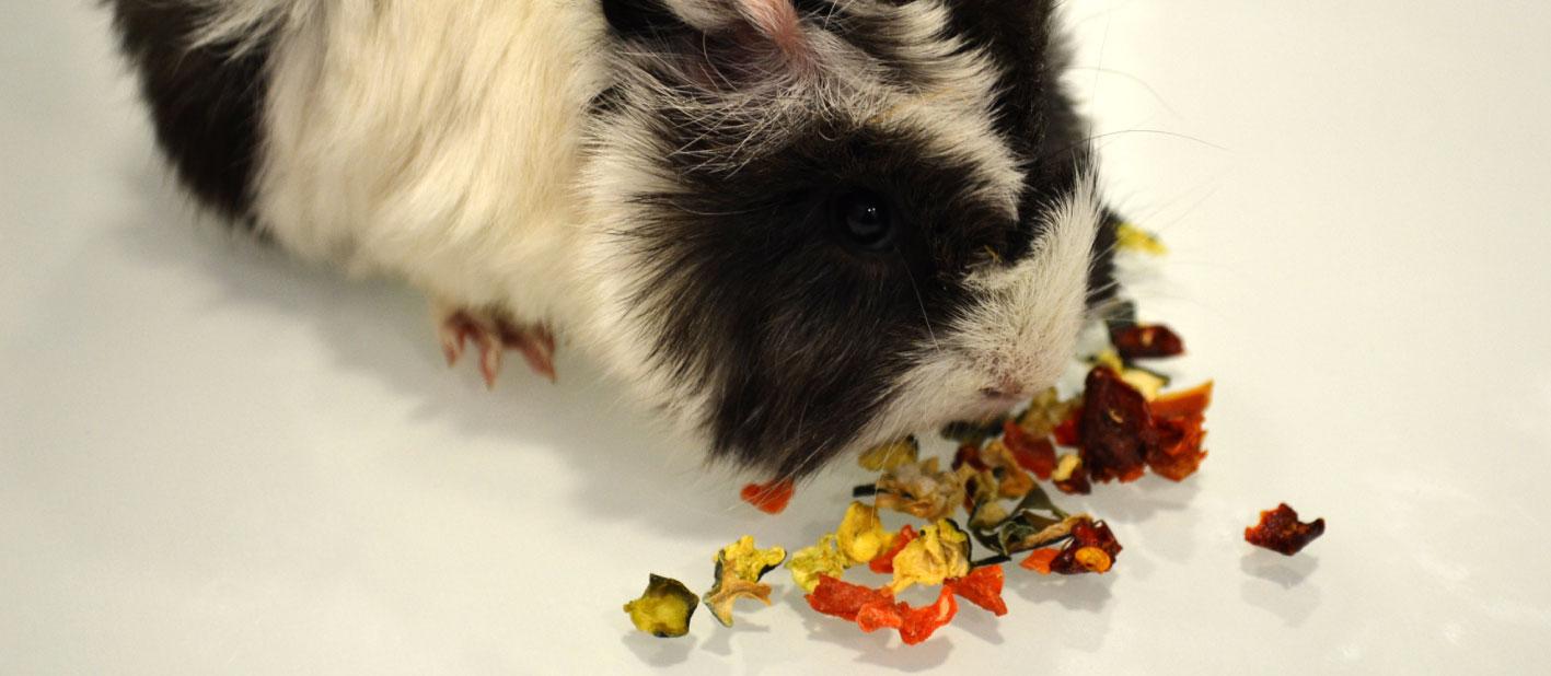 Cobaya-con-snack-de-verduras